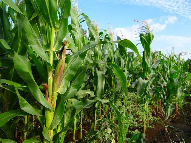 maize-272894_640