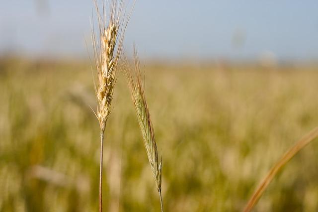 corn-686811_640
