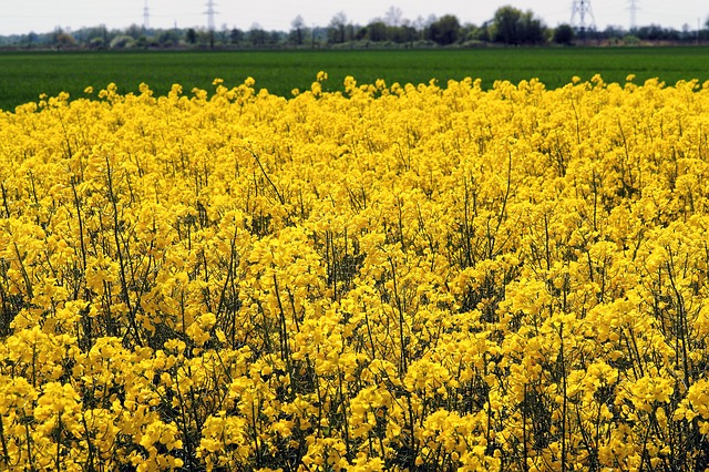 oilseed-rape-782588_640