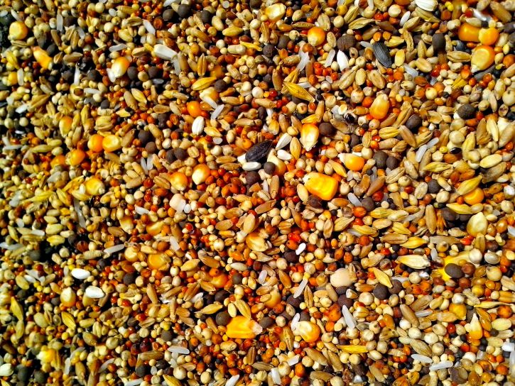 seeds-of-various-grains-of-corn-pea-rice-sunflower-and-rapeseed-725x544