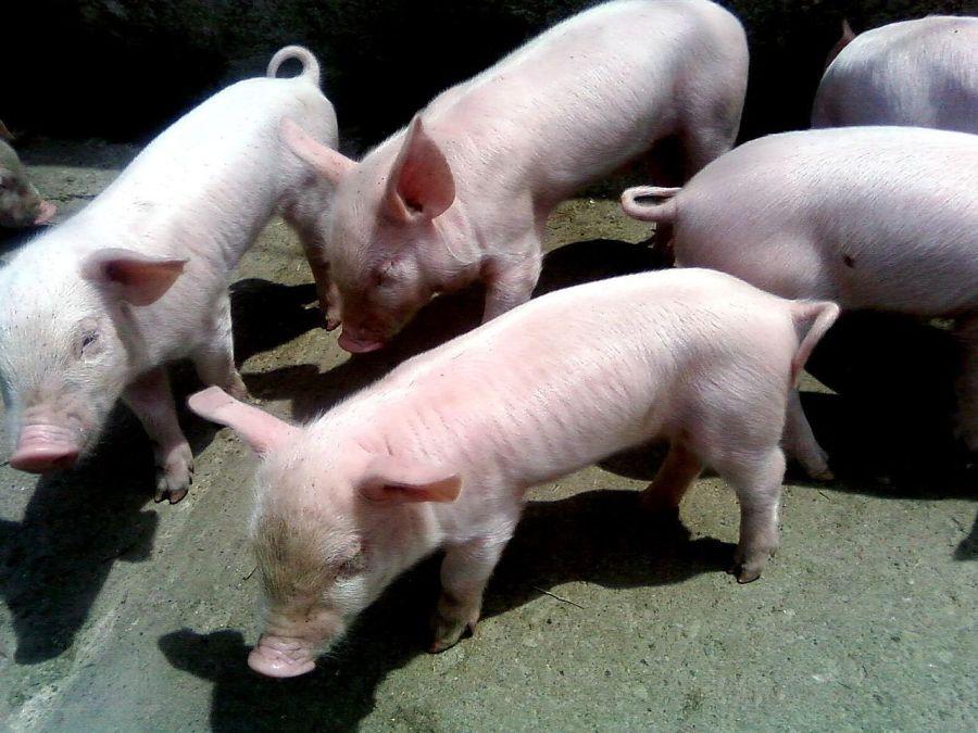 1280px-Little_pigs
